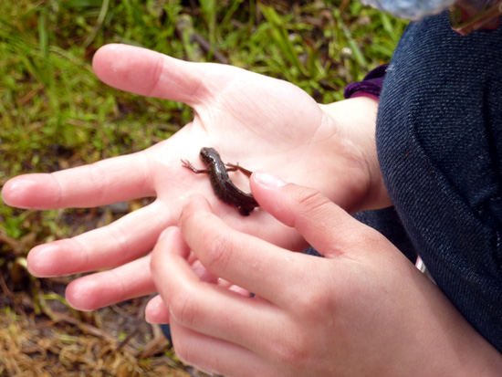 One of the newts we found while pond dipping at Bryngarw Country Park
