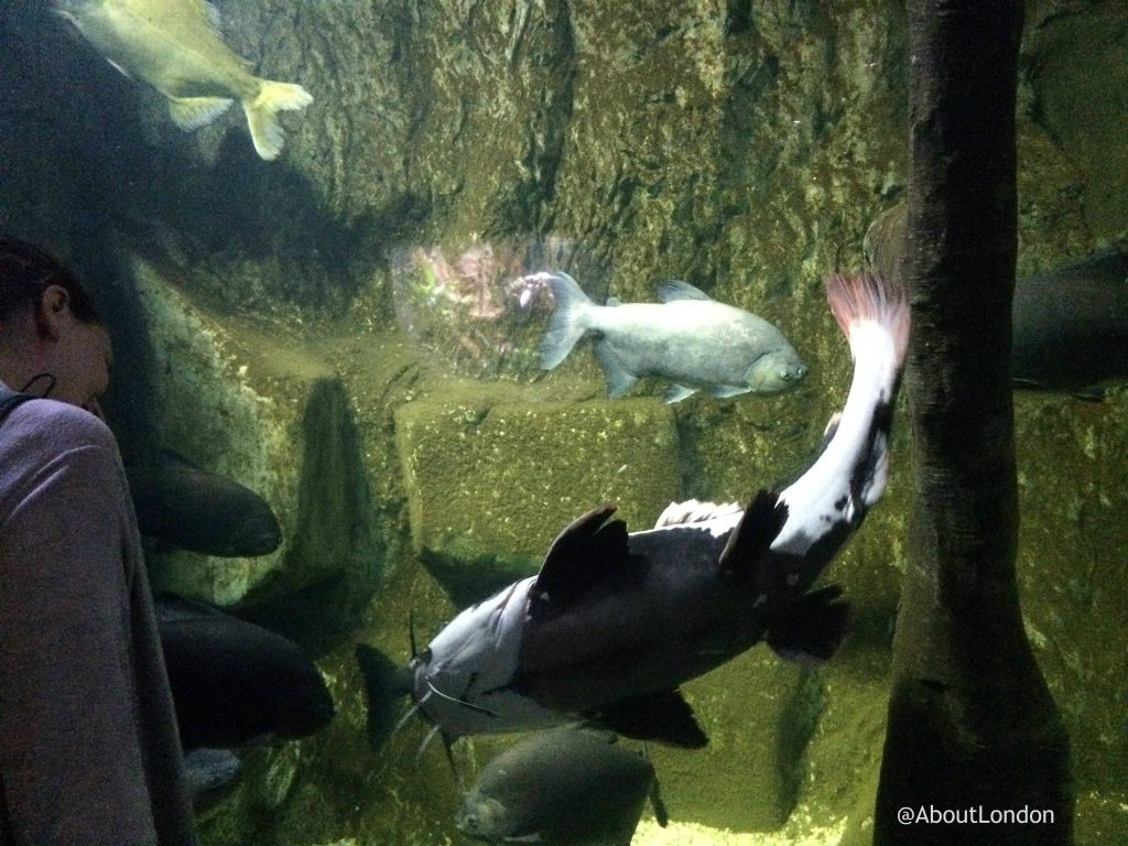 catfish - London Aquarium