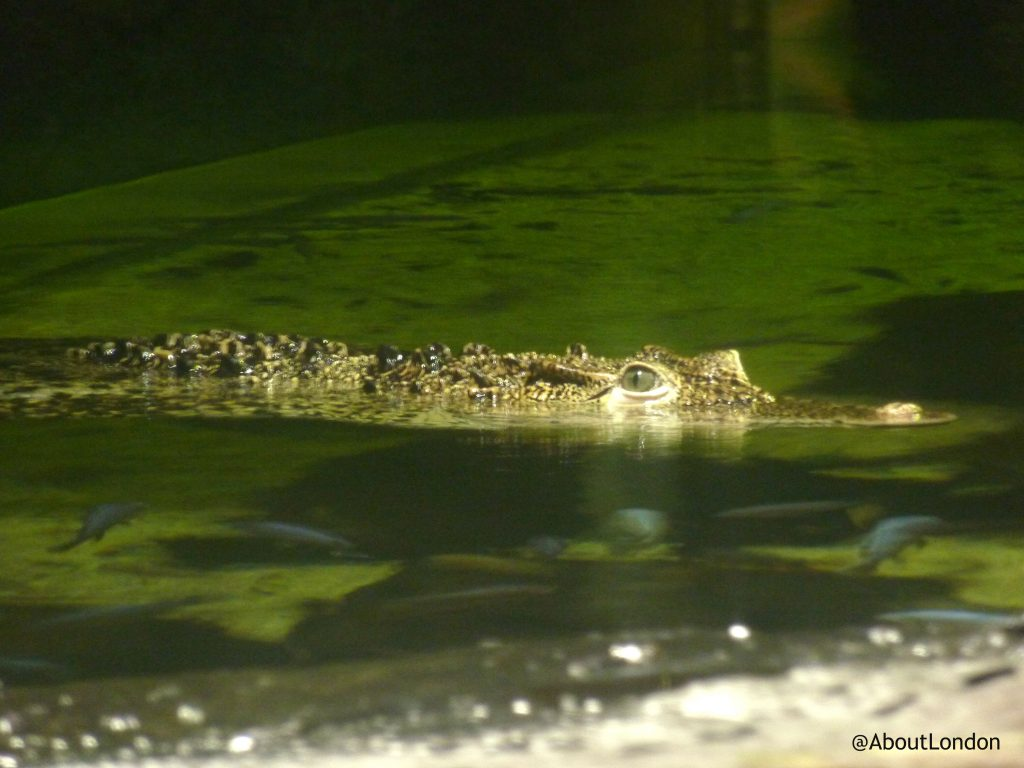 crocodile - London Aquarium