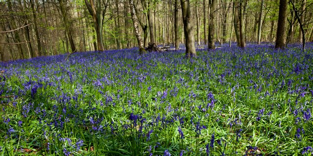 Bluebells at Aston Hill