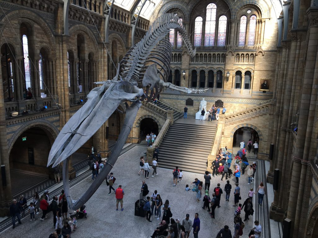 Breadcrumbs Natural History Museum - Hope the blue whale skeleton in Hintze Hall